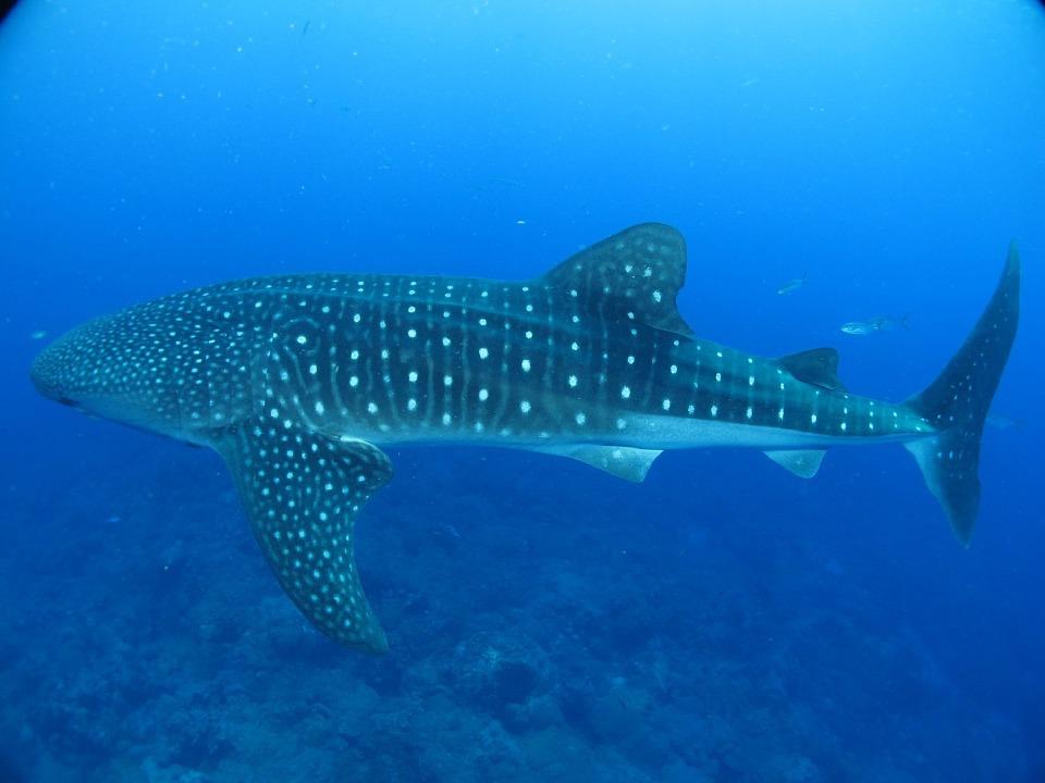 Китовые акулы спасли один из городов Филиппин от нищеты. 395847.jpeg