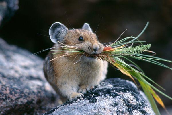 Исследование побед мышей в «бойцовском клубе» привело к неоднозначным результатам.. 393849.jpeg