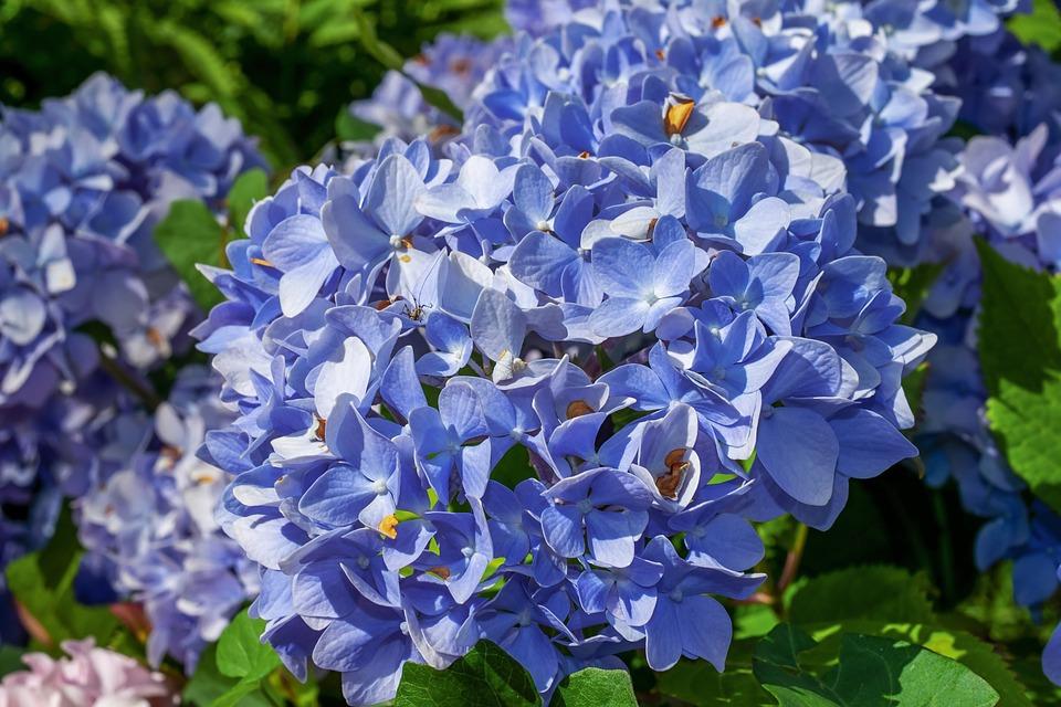Садовые гортензии: выбор сортов, посадка, уход. 395855.jpeg