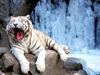 Редкий тигр загрыз смотрителя зоопарка