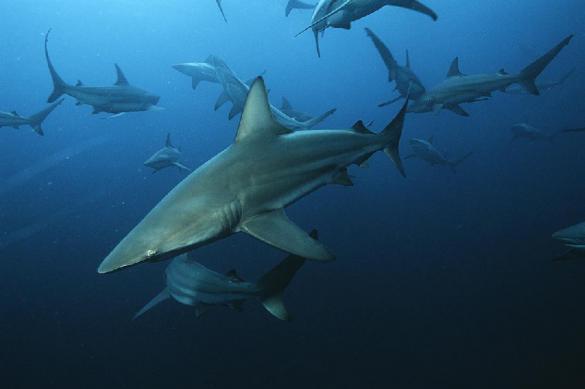 У берегов США заметили огромные стаи гигантских акул. У берегов США заметили огромные стаи гигантских акул