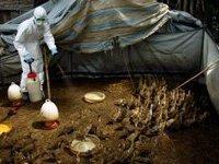 Опальных уток в Китае тоннами отвозят на змеиные фермы и сжигают заживо. 282860.jpeg