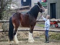 В Британии живет самая большая лошадь в мире