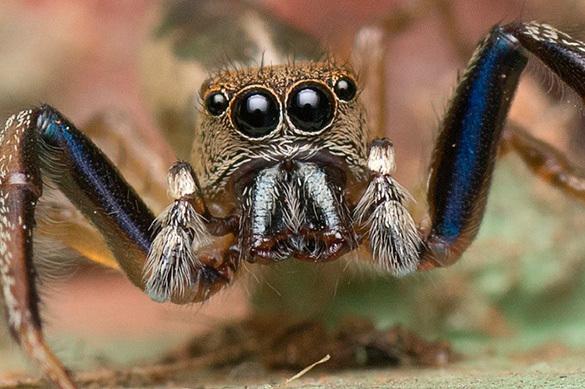 Ученые нашли паука, укусившего Питера Паркера
