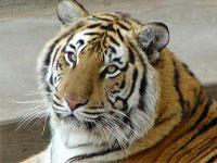 Путин обещал Южной Корее несколько амурских тигров