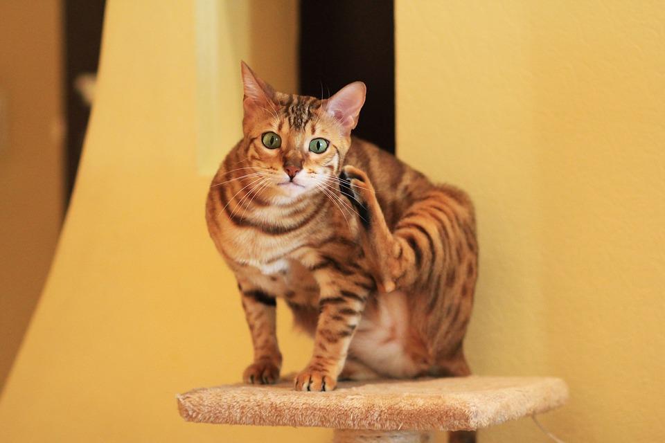 Породы кошек, которые любят собак. бенгальская