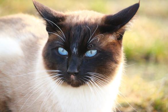 Породы кошек, которые любят собак. бирманская