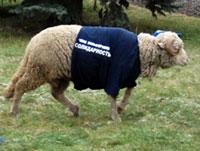 На съезд «Солидарности» приехало стадо баранов