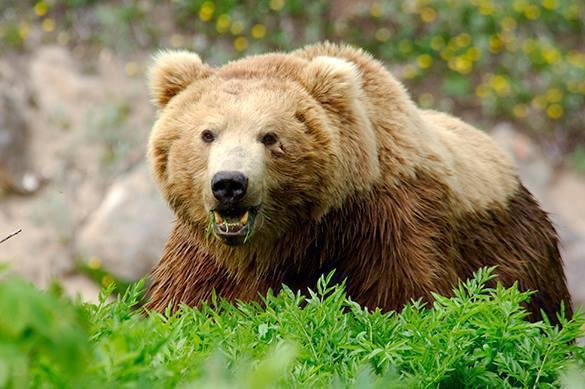 Медведь помешал учениям в Финляндии
