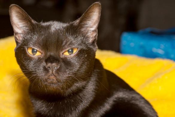 Породы кошек, которые любят собак. бомбейская