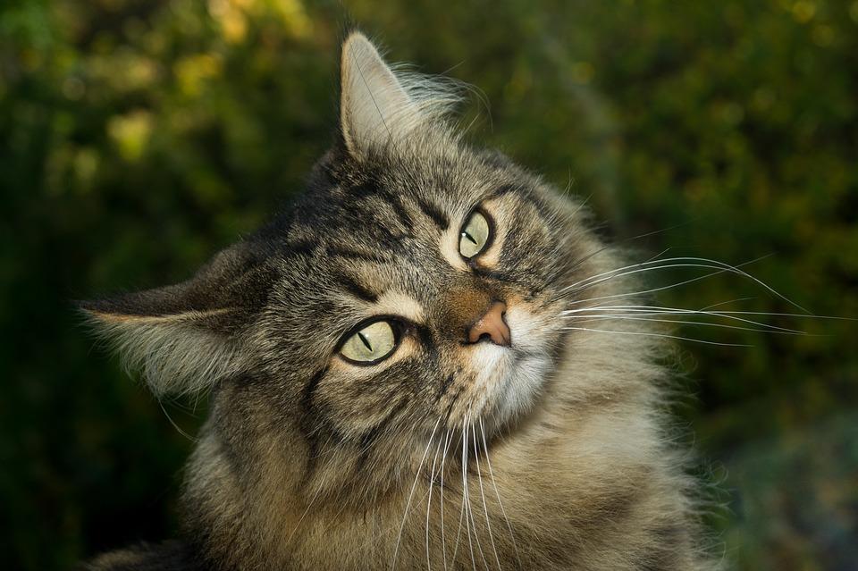 Породы кошек, которые любят собак. норвежская
