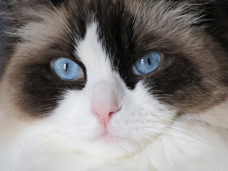 Породы кошек, которые любят собак. рэндолл