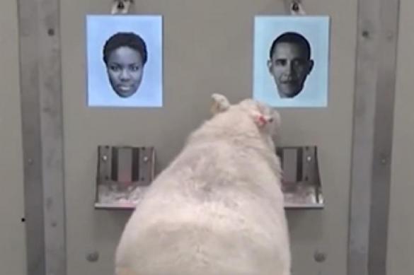 Овец научили узнавать Обаму и других известных личностей. Видео. Овец научили узнавать Обаму и других известных личностей. Видео