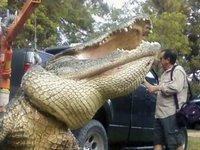 Житель США поймал на удочку гигантского аллигатора (+фото). alligator