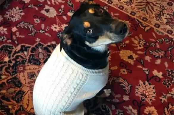 Пес научился прикидываться больным, чтобы получать внимание хозяев. Пес научился прикидываться больным, чтобы получать внимание хозя