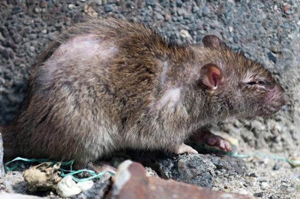 Крысы сожрали редкие книги в библиотеке Штутгарта. 392887.jpeg