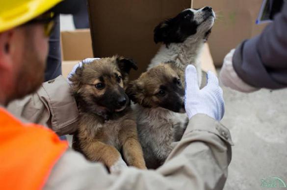 200 щенков из Чернобыля срочно отправлены в США