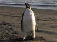 Ученые нашли останки крупнейшего пингвина на планете. 274892.jpeg
