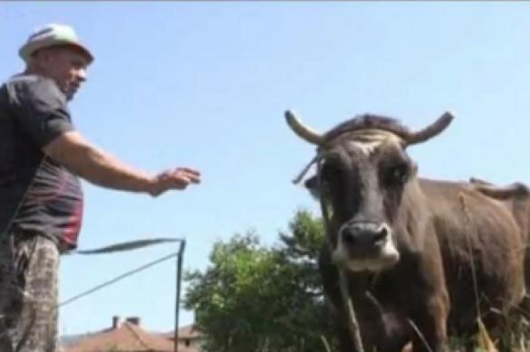 В ЕС продолжаются дискуссии по поводу жизни и смерти коровы Пенки. 387893.jpeg
