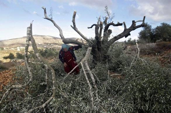 Израиль уничтожил тысячу оливковых плантаций на спорных с Палестиной территориях. 321898.jpeg