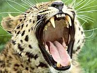 Дикий леопард переполошил охрану премьер-министра Пакистана