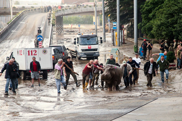 В Тбилисский зоопарк вернулись пингвин и бегемот. тбилисский бегемот, спасение