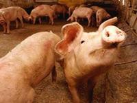 Британским фермерам во время кормежки свиней велено носить