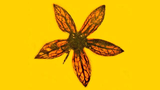 Янтарь с одними из первых цветов Земли найден в Бирме. цветок