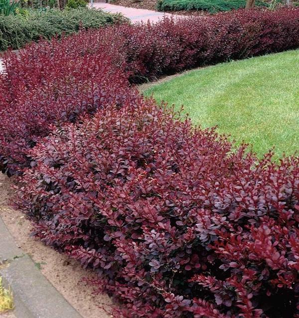 Декоративные кустарники для выращивания в тени. 403908.jpeg