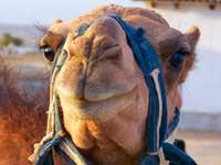 В Дубае появился первый в мире клонированный верблюд