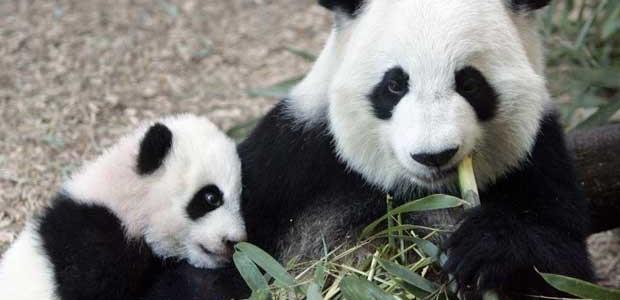 Панды-тройняшки из китайского зоопарка не только выжили, но уже открывают глаза. 298915.jpeg