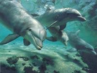 Дельфины присоединились к международной антипиратской операции