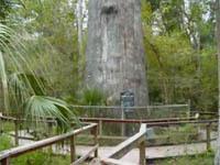 В парке Флориды сгорел бесценный кипарис. tree