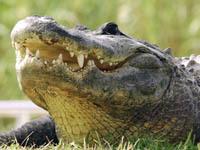 Индия впервые проводит перепись крокодилов. crocodile