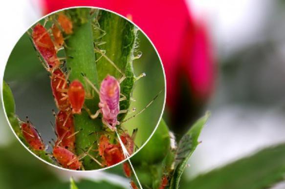 Избавляемся от тли на розовых кустах: эффективные способы. 396923.jpeg