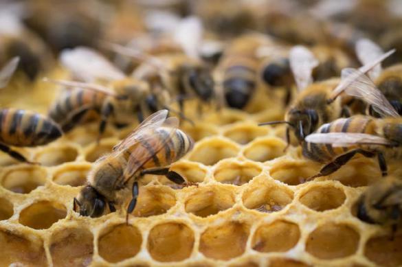 В США произошло массовое убийство русских пчел. 381928.jpeg
