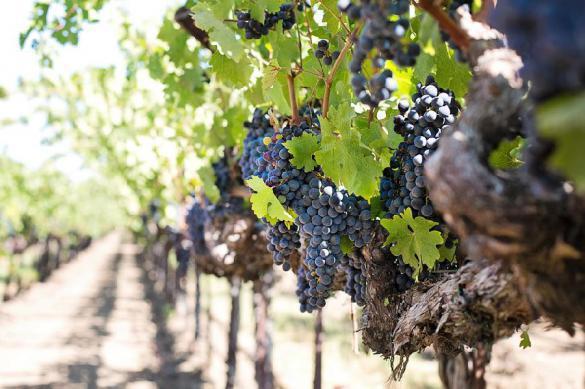 Раскрыта ранее неизвестная польза винограда в борьбе со страшной болезнью. 392928.jpeg