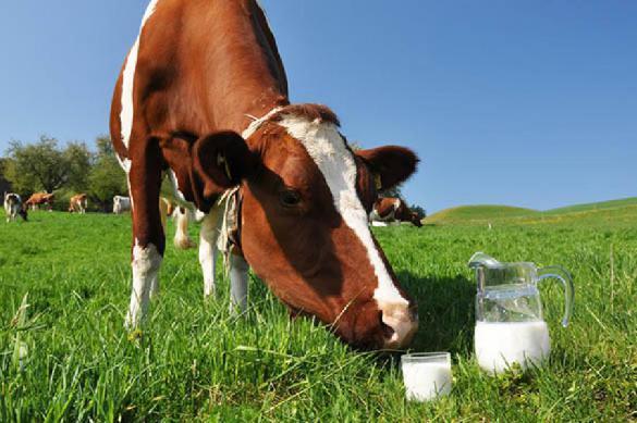 Экологи паникуют: украинские коровы дают чернобыльское молоко. 387929.jpeg
