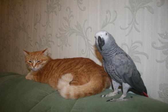 Попугай нашел общий язык с кошками. А что делать, жизнь такая!. 393930.jpeg