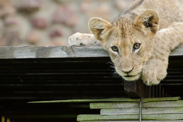 """В Париже спасли львенка Путина из прокатной """"Ламборджини"""". 394930.jpeg"""