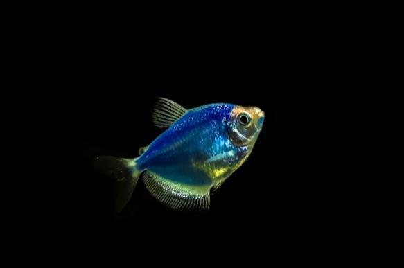 Светящиеся рыбы проверят чистоту воды. 392931.jpeg