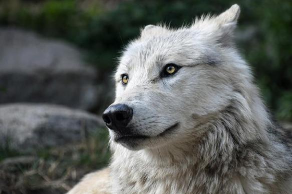 За шкуру волка в Иркутской области будут платить охотникам по 20 тысяч рублей. 391932.jpeg