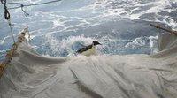 Знаменитый заблудившийся пингвин плывет на родину. penguin