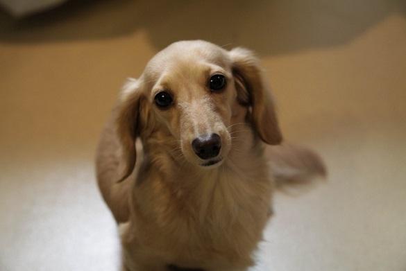 Мал золотник: семь миниатюрных собак, которые не позволят вам скучать. 396936.jpeg