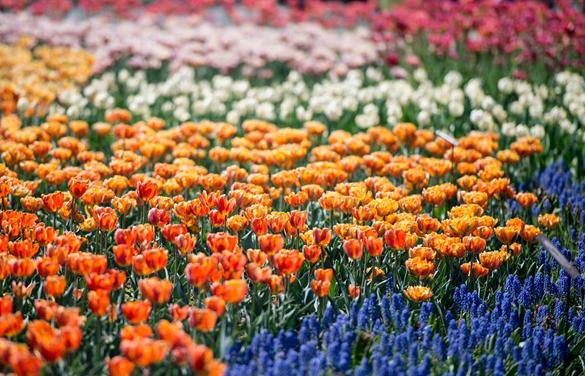 В Оттаве прошел ежегодный фестиваль тюльпанов. Фестиваль тюльпанов прошел в Канаде