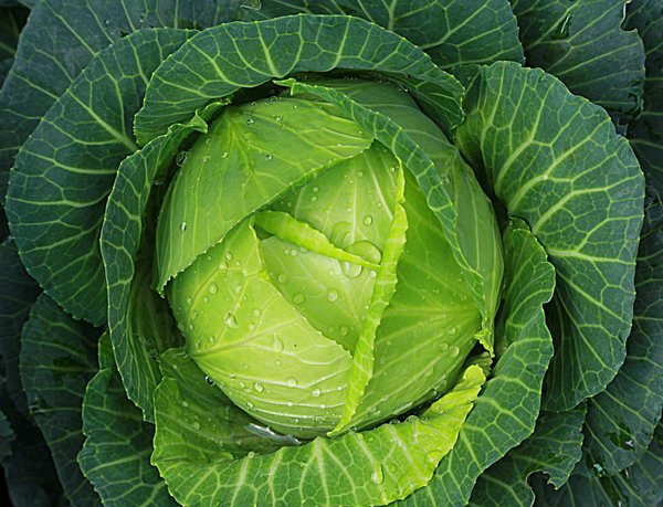 Королевское питание для наших детей - полезно и доступно. капуста