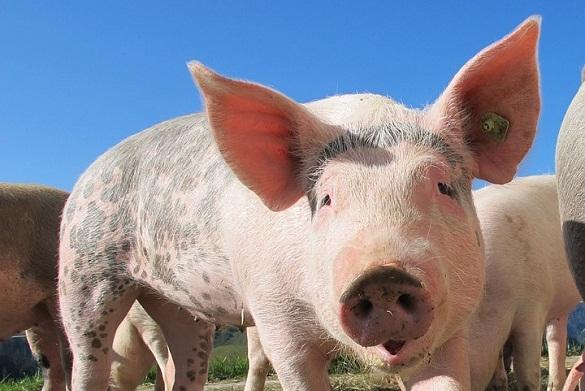 Украинских свиней не принимает Белоруссия. 377944.jpeg