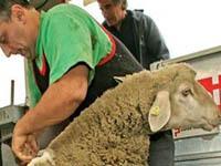 Фермеры хотят сделать стрижку овец олимпийским видом. sheep