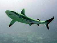 Кровожадные акулы уплыли из Приморья. 246949.jpeg