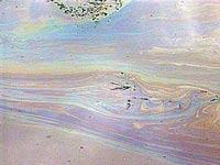 Сотни тонн форели погибли из-за масляного пятна в Енисее